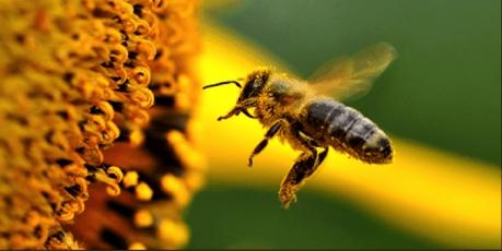 Să salvăm albinele