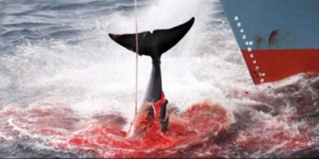 Japonia masacrează mii de balene minunate în ciuda interdicției mondiale în vigoare