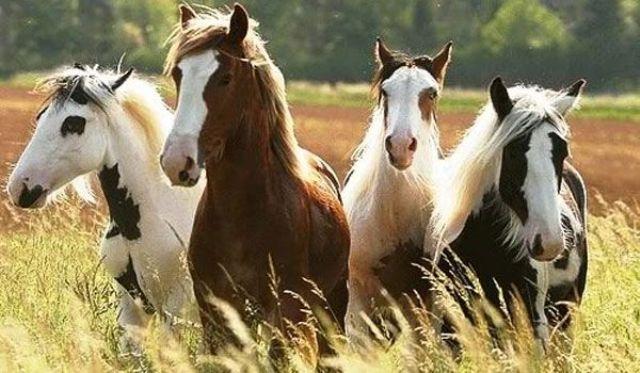 Interziceți comerțul cu sânge de cal folosit pentru creșterea industrială a animalelor-cobai