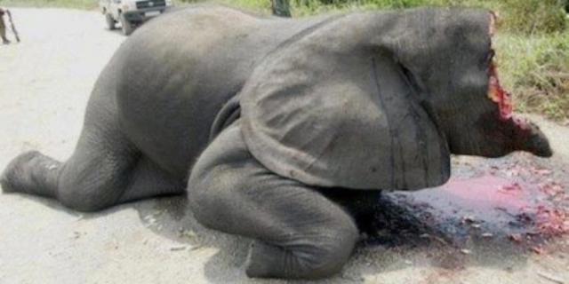O condamnare la moarte pentru elefanți