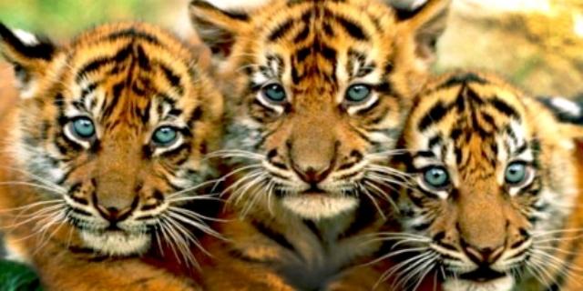 Ultimii tigri bengalezi pot fi salvați și cu semnătura ta