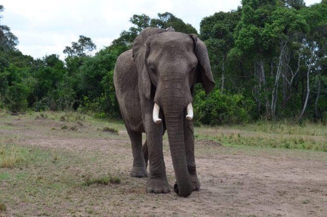 Trump adoptă modelul Dragnea și schimbă legea pentru ca fiul său să mai poată vâna elefanți