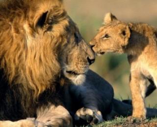 Salvați leii africani