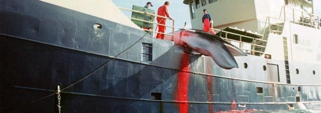 Norvegia trebuie să stopeze vânătoarea tradițională de balene